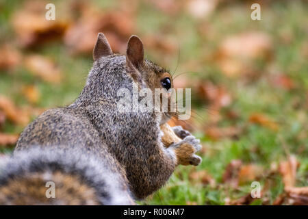 A grey squirrel sitting on brown autumn leaves - Stock Photo