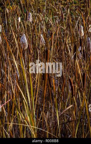 Autumn Cattails at Finch Arboretum, Spokane, Washington. USA. - Stock Photo