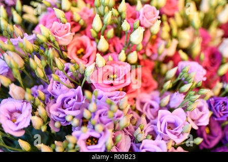 Texas bluebells (Eustoma grandiflorum), also kwown as Texas bluebell, bluebell, showy prairie gentian, prairie gentian , red and Lisianthus *** Local  - Stock Photo