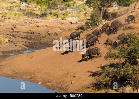 A herd of thirsty Buffalo, Synceros caffer running towards a waterhole in Kruger National Park South Africa to drink - Stock Photo