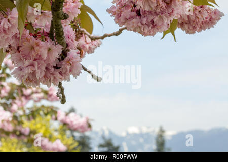 Delicate pink blossoms of a cherry tree form top and left side of frame.  Out of focus on bottom edge of frame are Vancouver's North Shore mountains s - Stock Photo