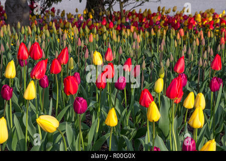 Vibrant scarlet and purple tulips growing among yellow tulips with various tulip buds and colors in the background - Stock Photo
