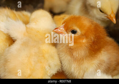 Portrait of small domestic red chicken on a background of the flock - Stock Photo