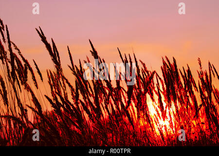 Tops of cereal weeds inflorescence on the sunset background, flame imitation - Stock Photo