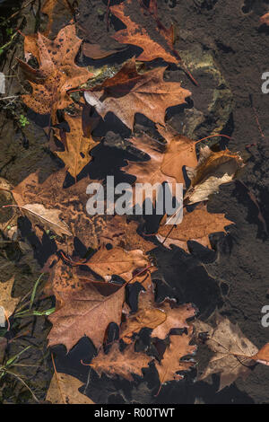 Orange autumnal Oak leaves floating in water. - Stock Photo