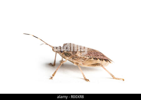 Extreme close up of a living brown marmorated stink bug with macro details - Stock Photo