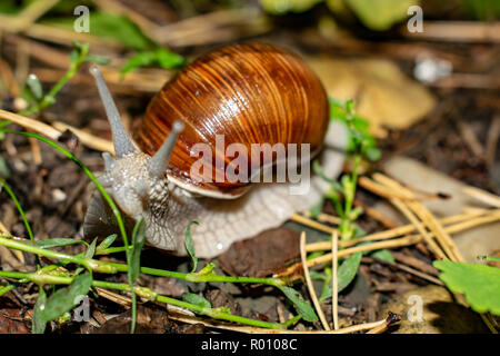 Big snail in shell, crawling along the road, summer day in the garden after the rain - Stock Photo
