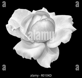Fine art still life monochrome black and white flower macro photo of a wide open blooming rose blossom with detailed texture on black background - Stock Photo