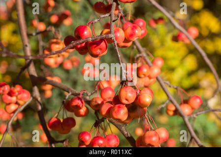 wild apples on twig on sunny day selective focus - Stock Photo