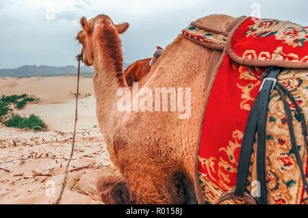 Bactrian camel resting on Mongol Els Sand Dunes in Uvurkhangai Aimag (Province) west of Ulaanbaatar, Mongolia - Stock Photo