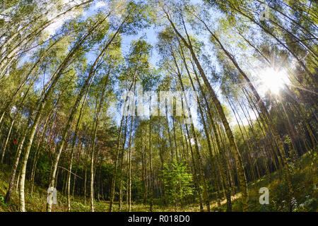 Early autumn young forest with golden leaves in golden light of early afternoon. - Stock Photo