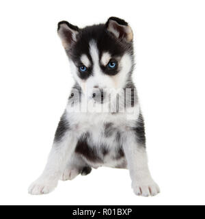 Siberian Husky puppy on a plain white background, Black and White dog with blue eyes. - Stock Photo