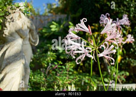 Nerine Bowdenii - Stock Photo