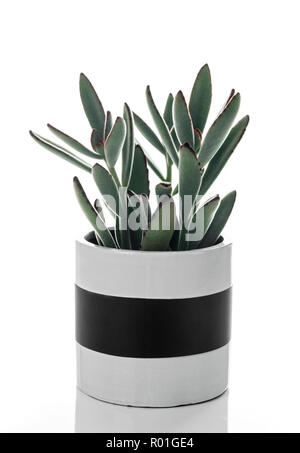 Beautiful Panda plant (Kalanchoe tomentosa), in a black and white ceramic pot, isolated on white background - Stock Photo