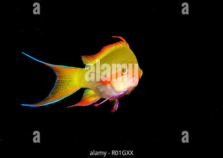 Threadfin anthias (Pseudanthias huchtii), male, Negros, Philippines - Stock Photo