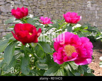 Closeup red Chinese peonies flowers (Paeonia lactiflora) - Stock Photo