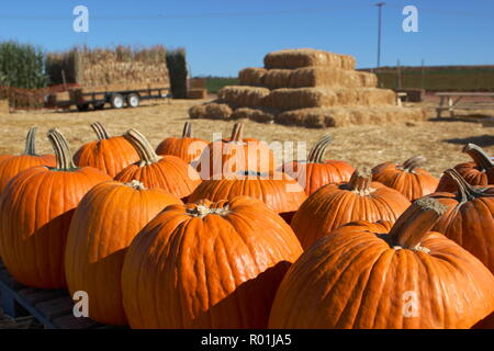 Ripe pumpkins stacked on a farm, with hay bales and tractor in background - Stock Photo