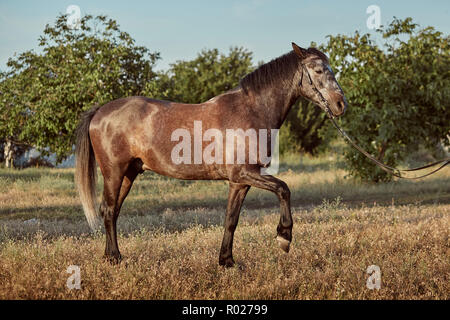 Portrait of bay horse in summer on the field - Stock Photo