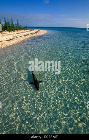 Blacktip shark, Carcharhinus limbatus, Bahamas, Atlantic Ocean