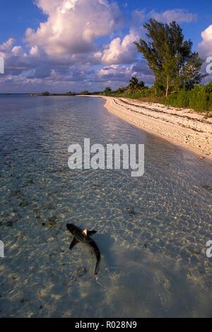 Blacktip shark, Carcharhinus limbatus, Bahamas, Atlantic Ocean - Stock Photo