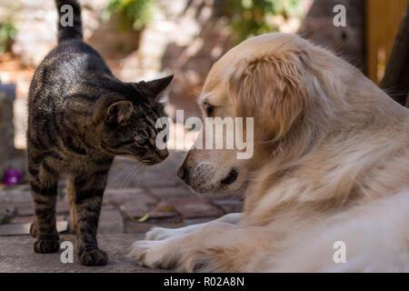 British tabby cat meets young golden retriever in sunny courtyard garden - Stock Photo