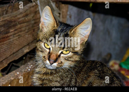 Portrait of a dark grey tabby kitten showing a resentful look, while being on prowl in a garret - Stock Photo