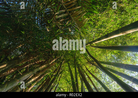 Up view from the ground of green and big bamboo tree trunks in rainforest with beam of the sun - Stock Photo