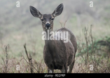 The Black tailed deer (Odocoileus hemionus columbianus) is a subspecies of the mule deer, these were photographed on a foggy afternoon in Pt Reyes. - Stock Photo