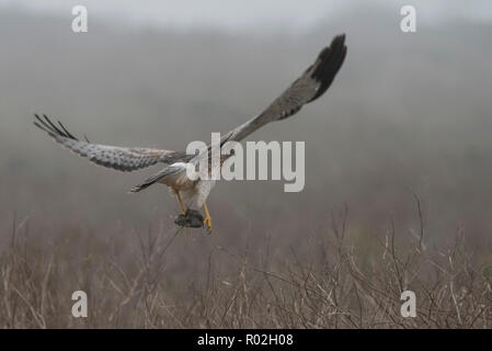 A northern Harrier (Circus hudsonius) flying away with a captured rodent in Pt. Reyes National Seashore. - Stock Photo