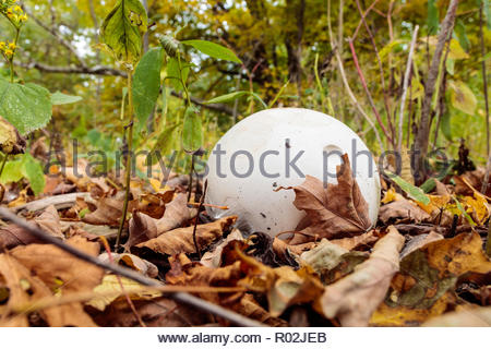 Giant puffball Calvatia gigantea fungi mushroom on the deciduous forest floor in autumn in Cudia Park in Toronto Ontario Canada - Stock Photo
