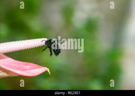 Black bumble bee, Bombus atratus, collecting pollen from the spadix of an anthurium flower - Stock Photo