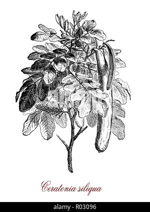 Vintage botanical engraving of ceratonia siliqua or carob, flowering evergreen tree cultivated for its edible pods, and as an ornamental tree in gardens - Stock Photo