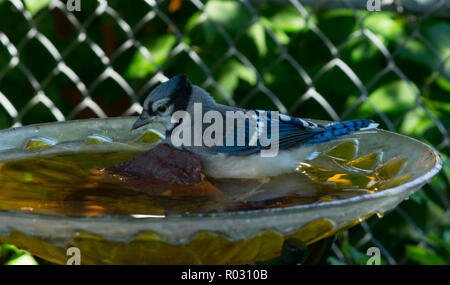 young Blue jay enjoying the day - Stock Photo