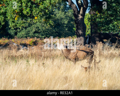 Red Deer Stag Bellowing during the Rut - Stock Photo