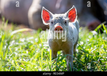 A curious little piglet has the sun behind him, lighting up his ears, in a field on a free range pig farm in New Zealand - Stock Photo