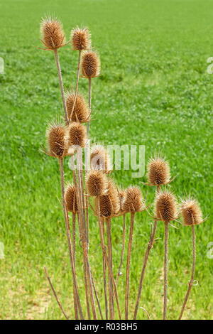 Dried last year thistle flowers against a background of green spring field - Stock Photo