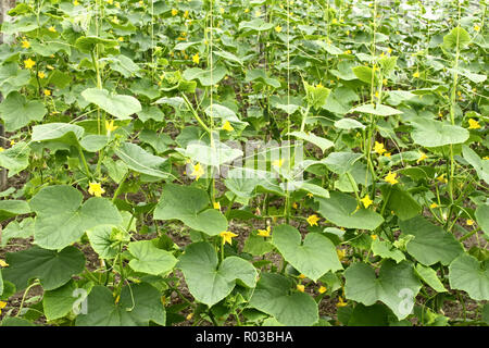 Cucumbers plants flowering in film greenhouses. The rapid growth in summer - Stock Photo