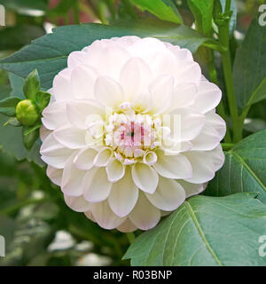 White with pink tinge dahlia on flowerbed close up - Stock Photo