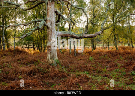 Beech Tree and Silver Birch Denny Wood The New Forest Hampshire England UK - Stock Photo