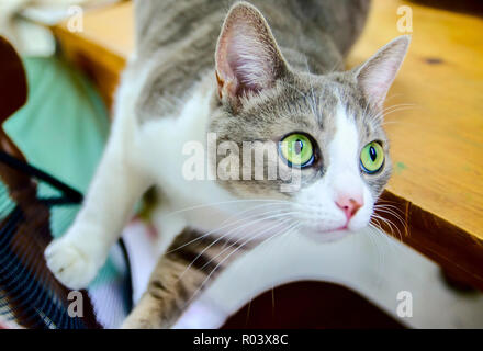 Purl, a domestic shorthair tabby cat, oversees a knitting project at Yarns and More in West Point, Mississippi. - Stock Photo