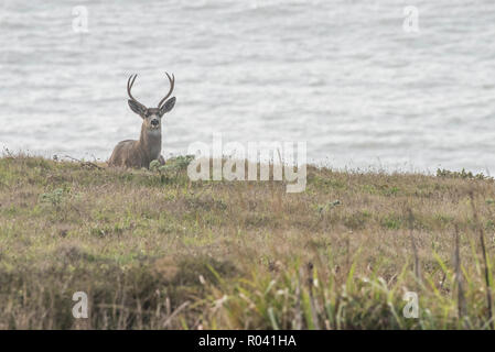 A male blacktail deer (Odocoileus hemionus columbianus) resting near the ocean at Point Reyes National seashore in California. - Stock Photo