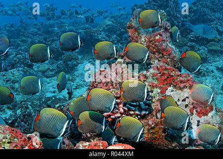 A group Collared butterflyfish (Chaetodon collare) swimming over a coral reef, Ari Atoll, Maldive islands - Stock Photo
