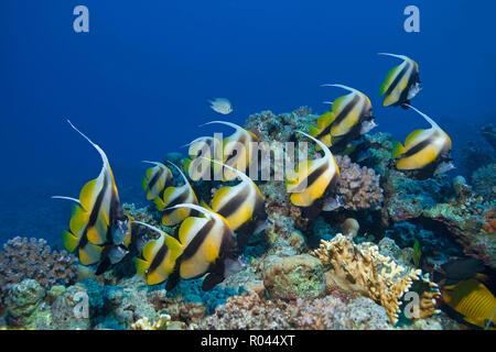 A group Red Sea bannerfish (Heniochus intermedius), Sinai, Egypt - Stock Photo