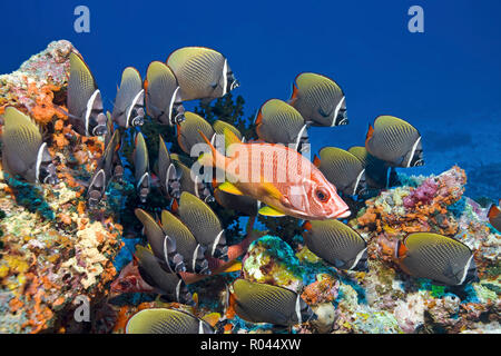 A Squirrelfish (Sargocentron spiniferum) between a group Collared butterflyfish (Chaetodon collare), Ari Atoll, Maldive islands - Stock Photo