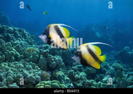 Red Sea bannerfish (Heniochus intermedius), pair, Soma Bay, Egypt - Stock Photo