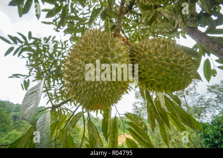 King of fruits the Durian at fruits orchard in Sabah Malaysia - Stock Photo