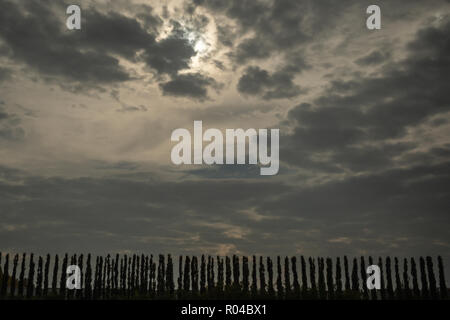 Plantation with line of tall thin poplar trees in silhouette against dramatic sky - Stock Photo