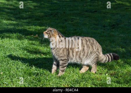 Scottish wildcat (Felis silvestris grampia) captive - Stock Photo