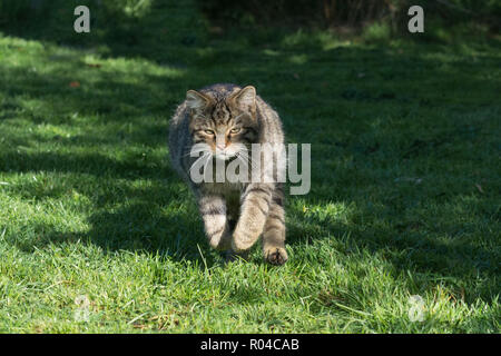 Scottish wildcat (Felis silvestris grampia) captive running - Stock Photo