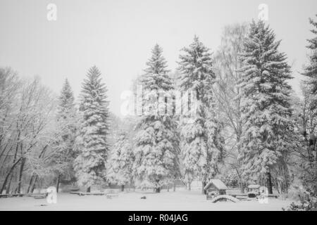 Snow-covered high spruce in town park. Natural black and white winter snowy background. - Stock Photo